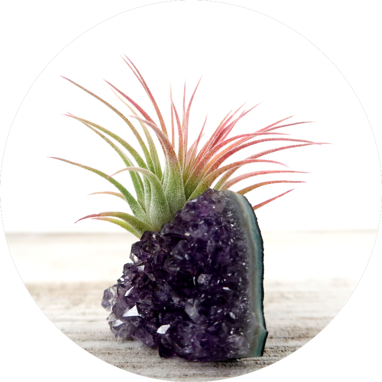 "Amethyst ""Intuition"" Crystal with Live Air Plant Tillandsia, Purple Gemstone Gift for Nature Lover"